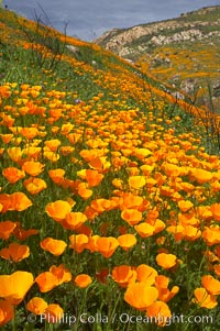 California poppies cover the hillsides in bright orange, just months after the area was devastated by wildfires, Eschscholtzia californica, Eschscholzia californica, Del Dios, San Diego