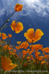 California poppy plants viewed from the perspective of a bug walking below the bright orange blooms. Del Dios, San Diego, California, USA, Eschscholzia californica, Eschscholtzia californica, natural history stock photograph, photo id 20542