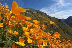 California poppies cover the hillsides in bright orange, just months after the area was devastated by wildfires. Del Dios, San Diego, California, USA, Eschscholzia californica, Eschscholtzia californica, natural history stock photograph, photo id 20543