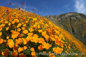 California poppies cover the hillsides in bright orange, just months after the area was devastated by wildfires. Del Dios, San Diego, California, USA, Eschscholzia californica, Eschscholtzia californica, natural history stock photograph, photo id 20544