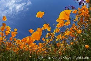 California poppy plants viewed from the perspective of a bug walking below the bright orange blooms. Del Dios, San Diego, California, USA, Eschscholzia californica, Eschscholtzia californica, natural history stock photograph, photo id 20546