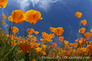 California poppy plants viewed from the perspective of a bug walking below the bright orange blooms, Eschscholzia californica, Eschscholtzia californica, Del Dios, San Diego