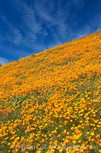 California poppy plants carpet the hills of Del Dios above Lake Hodges, Eschscholzia californica, Eschscholtzia californica, San Diego