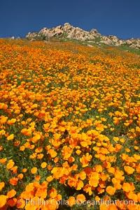 California poppy plants carpet the hills of Del Dios above Lake Hodges, Eschscholtzia californica, Eschscholzia californica, San Diego