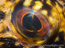 California scorpionfish eyeball, Scorpaena guttata, Scorpaena guttata, San Diego