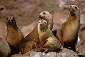 California sea lions, Coronado Islands. Coronado Islands (Islas Coronado), Coronado Islands, Baja California, Mexico, Zalophus californianus, natural history stock photograph, photo id 02160