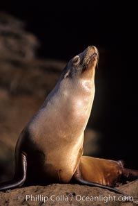 California sea lion, Coronado Islands. Coronado Islands (Islas Coronado), Baja California, Mexico, Zalophus californianus, natural history stock photograph, photo id 02919