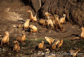 California sea lions, Coronado Islands. Coronado Islands (Islas Coronado), Coronado Islands, Baja California, Mexico, Zalophus californianus, natural history stock photograph, photo id 02922