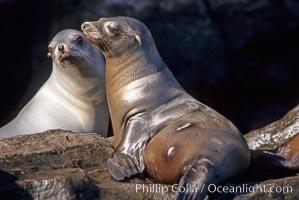 California sea lion, Coronado Islands, Zalophus californianus, Coronado Islands (Islas Coronado)