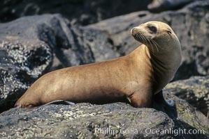 California sea lion, Zalophus californianus, Coronado Islands (Islas Coronado)