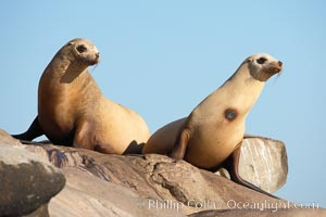 California sea lion, adult female. La Jolla, California, USA, Zalophus californianus, natural history stock photograph, photo id 18538