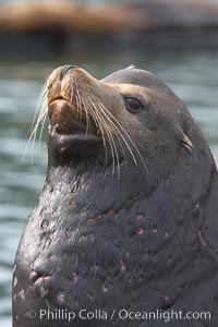 Sea lion head profile, showing small external ear, prominant forehead typical of adult males, whiskers.  This sea lion is hauled out on public docks in Astoria's East Mooring Basin.  This bachelor colony of adult males takes up residence for several weeks in late summer on public docks in Astoria after having fed upon migrating salmon in the Columbia River.  The sea lions can damage or even sink docks and some critics feel that they cost the city money in the form of lost dock fees. Columbia River, Astoria, Oregon, USA, Zalophus californianus, natural history stock photograph, photo id 19421