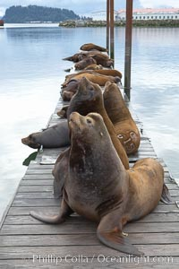 Sea lions hauled out on public docks in Astoria's East Mooring Basin.  This bachelor colony of adult males takes up residence for several weeks in late summer on public docks in Astoria after having fed upon migrating salmon in the Columbia River.  The sea lions can damage or even sink docks and some critics feel that they cost the city money in the form of lost dock fees, Zalophus californianus