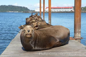 Sea lions hauled out on public docks in Astoria's East Mooring Basin.  This bachelor colony of adult males takes up residence for several weeks in late summer on public docks in Astoria after having fed upon migrating salmon in the Columbia River.  The sea lions can damage or even sink docks and some critics feel that they cost the city money in the form of lost dock fees. Columbia River, Astoria, Oregon, USA, Zalophus californianus, natural history stock photograph, photo id 19424