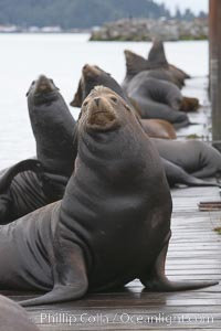 Sea lions hauled out on public docks in Astoria's East Mooring Basin.  This bachelor colony of adult males takes up residence for several weeks in late summer on public docks in Astoria after having fed upon migrating salmon in the Columbia River.  The sea lions can damage or even sink docks and some critics feel that they cost the city money in the form of lost dock fees. Columbia River, Astoria, Oregon, USA, Zalophus californianus, natural history stock photograph, photo id 19427