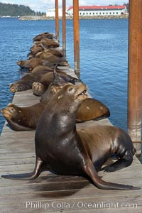Sea lions hauled out on public docks in Astoria's East Mooring Basin.  This bachelor colony of adult males takes up residence for several weeks in late summer on public docks in Astoria after having fed upon migrating salmon in the Columbia River.  The sea lions can damage or even sink docks and some critics feel that they cost the city money in the form of lost dock fees. Oregon, USA, Zalophus californianus, natural history stock photograph, photo id 19431