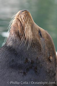 Sea lion head profile, showing small external ear, prominant forehead typical of adult males, whiskers.  This sea lion is hauled out on public docks in Astoria's East Mooring Basin.  This bachelor colony of adult males takes up residence for several weeks in late summer on public docks in Astoria after having fed upon migrating salmon in the Columbia River.  The sea lions can damage or even sink docks and some critics feel that they cost the city money in the form of lost dock fees, Zalophus californianus