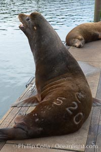 "A bull sea lion shows a brand burned into its hide by the Oregon Department of Fish and Wildlife, to monitor it from season to season as it travels between California, Oregon and Washington.  Some California sea lions, such as this one C-520, prey upon migrating salmon that gather in the downstream waters and fish ladders of Bonneville Dam on the Columbia River.  The ""C"" in its brand denotes Columbia River. These  sea lions also form bachelor colonies that haul out on public docks in Astoria's East Mooring Basin and elsewhere, where they can damage or even sink docks, Zalophus californianus"