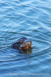 California sea lion swimming. Columbia River, Astoria, Oregon, USA, Zalophus californianus, natural history stock photograph, photo id 19436