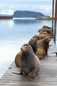 Image 19437, Sea lions hauled out on public docks in Astoria's East Mooring Basin.  This bachelor colony of adult males takes up residence for several weeks in late summer on public docks in Astoria after having fed upon migrating salmon in the Columbia River.  The sea lions can damage or even sink docks and some critics feel that they cost the city money in the form of lost dock fees. Columbia River, Astoria, Oregon, USA, Zalophus californianus, Phillip Colla, all rights reserved worldwide. Keywords: animal, animalia, astoria, bay, brand, california sea lion, californianus, caniformia, carnivora, carnivore, chordata, columbia river, creature, dock, eared seal, harbor, lobo marino, mammal, mammalia, marina, marine, marine mammal, maritime, nature, ocean, oregon, otarid, otariid, otariidae, pier, pinniped, pinnipedia, river, sea, sea dog, sea lion, sealion, usa, vertebrata, vertebrate, water, wharf, wildlife, zalophus, zalophus californianus.