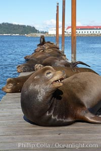 Sea lions hauled out on public docks in Astoria's East Mooring Basin.  This bachelor colony of adult males takes up residence for several weeks in late summer on public docks in Astoria after having fed upon migrating salmon in the Columbia River.  The sea lions can damage or even sink docks and some critics feel that they cost the city money in the form of lost dock fees. Oregon, USA, Zalophus californianus, natural history stock photograph, photo id 19438