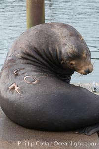 "A bull sea lion shows a brand burned into its hide by the Oregon Department of Fish and Wildlife, to monitor it from season to season as it travels between California, Oregon and Washington.  Some California sea lions, such as this one C-704, prey upon migrating salmon that gather in the downstream waters and fish ladders of Bonneville Dam on the Columbia River.  The ""C"" in its brand denotes Columbia River. These  sea lions also form bachelor colonies that haul out on public docks in Astoria's East Mooring Basin and elsewhere, where they can damage or even sink docks, Zalophus californianus"