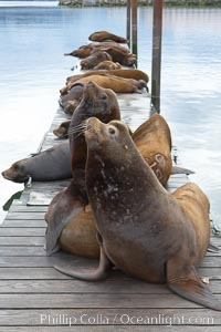 Sea lions hauled out on public docks in Astoria's East Mooring Basin.  This bachelor colony of adult males takes up residence for several weeks in late summer on public docks in Astoria after having fed upon migrating salmon in the Columbia River.  The sea lions can damage or even sink docks and some critics feel that they cost the city money in the form of lost dock fees. Columbia River, Astoria, Oregon, USA, Zalophus californianus, natural history stock photograph, photo id 19442