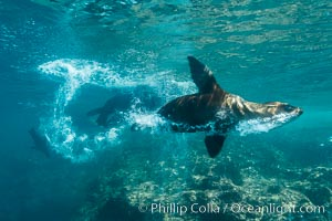 Sea lion bubble streaming underwater. Sea of Cortez, Baja California, Mexico, Zalophus californianus, natural history stock photograph, photo id 31222