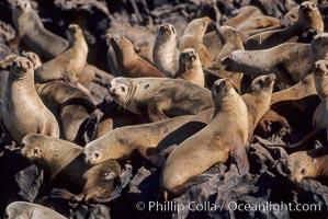 California sea lions, hauled out at rookery/colony, Baja California, Zalophus californianus
