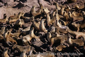 California sea lions, hauled out at rookery/colony, Baja California., Zalophus californianus, natural history stock photograph, photo id 05043