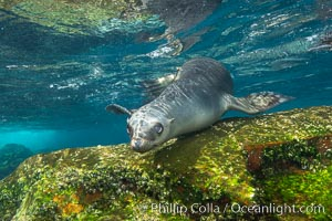 California sea lion, Coronados Islands, Baja California, Mexico. Coronado Islands (Islas Coronado), Coronado Islands, Baja California, Mexico, Zalophus californianus, natural history stock photograph, photo id 34584