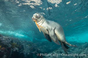 California sea lion, Coronados Islands, Baja California, Mexico, Zalophus californianus, Coronado Islands (Islas Coronado)