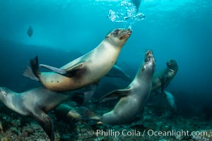 California sea lion, Coronados Islands, Baja California, Mexico. Coronado Islands (Islas Coronado), Baja California, Mexico, Zalophus californianus, natural history stock photograph, photo id 35053