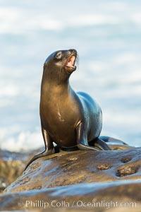 California sea lion, La Jolla, Zalophus californianus