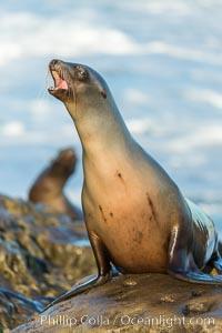 Image 34294, California sea lion, La Jolla. La Jolla, California, USA, Zalophus californianus