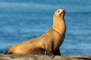 California sea lion wounded from entanglement in fishing line, La Jolla, Zalophus californianus