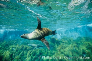 California sea lion. Guadalupe Island (Isla Guadalupe), Baja California, Mexico, Zalophus californianus, natural history stock photograph, photo id 00248
