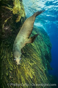 California sea lion. Guadalupe Island (Isla Guadalupe), Baja California, Mexico, Zalophus californianus, natural history stock photograph, photo id 00259