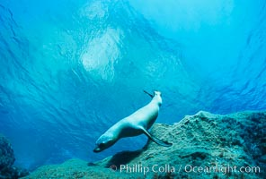 California sea lion. Guadalupe Island (Isla Guadalupe), Baja California, Mexico, Zalophus californianus, natural history stock photograph, photo id 00260