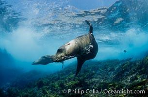 California sea lion, Coronados Islands. Coronado Islands (Islas Coronado), Baja California, Mexico, Zalophus californianus, natural history stock photograph, photo id 00956