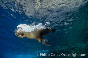 California sea lion, juvenile, bubble display, Zalophus californianus, Guadalupe Island (Isla Guadalupe)