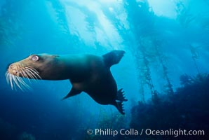 California sea lion, San Benito Islands, Zalophus californianus, San Benito Islands (Islas San Benito)