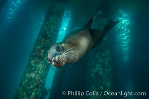 California sea lion at oil rig Eureka, underwater, among the pilings supporting the oil rig. Long Beach, USA, Zalophus californianus, natural history stock photograph, photo id 31087