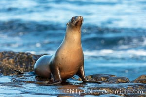 California Sea Lion portrait, La Jolla, California, Zalophus californianus