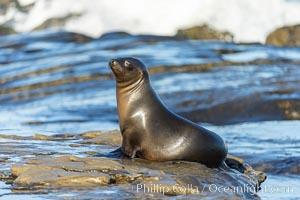 California sea lion portrait, La Jolla. USA, Zalophus californianus, natural history stock photograph, photo id 36756