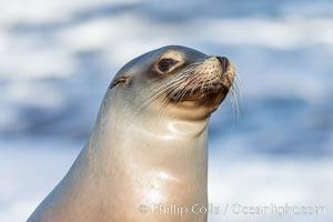 California sea lion portrait, La Jolla, Zalophus californianus