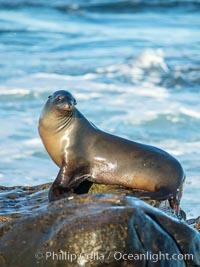 California Sea Lion Posing of Rocks in La Jolla, near San Diego California