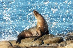 California Sea Lion Posing of Rocks in La Jolla, high surf crashing in the background