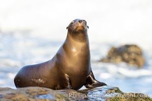 California Sea Lion Resting in the Sun, on rocky reef, Zalophus californianus, La Jolla