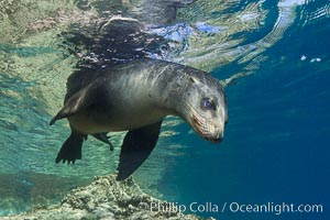 California sea lion underwater. Sea of Cortez, Baja California, Mexico, Zalophus californianus, natural history stock photograph, photo id 27423